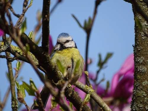 Spring Bird Tit Animal Nature Birds Small