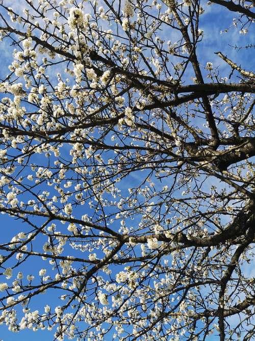 Spring Season Nature White Cherry Blossom Blossom