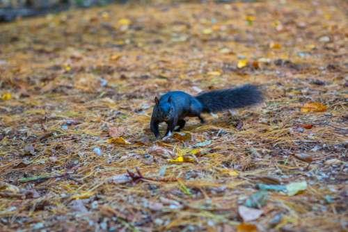 Squirrel Black Animal Nature Cute Rodent Mammal