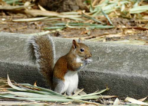 Squirrel Nuts Rodent Nut Cute Nature Nager Tail