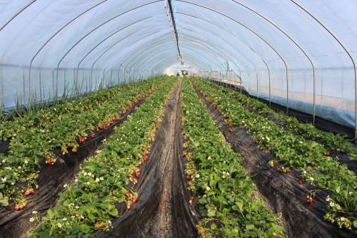 Strawberry Farm Agriculture Organic