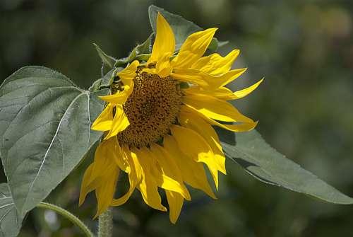 Sunflower Sun Flower Yellow Nature