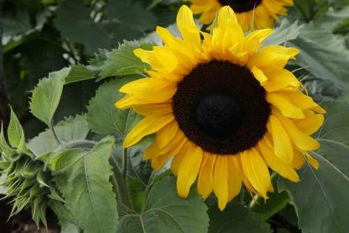 Sunflower Yellow Bloom Flower Blossom Plant