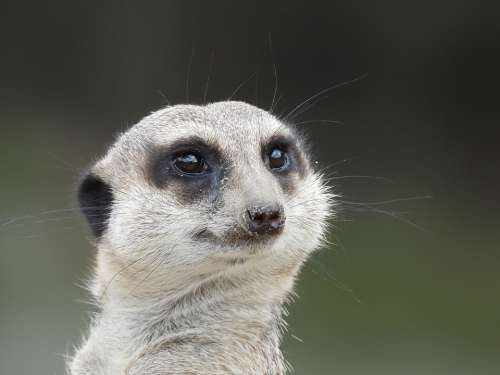 Surykatka Mammal Animals Sweet Predator Meercat