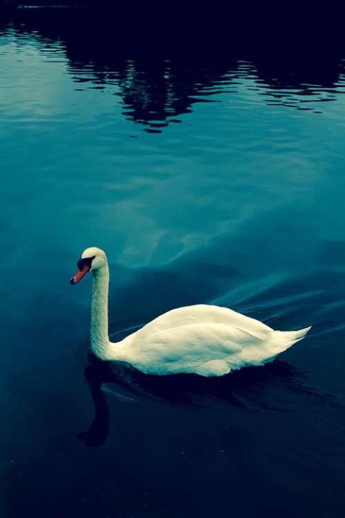 Swan Water Blue Waterfowl Nature Animal Bird