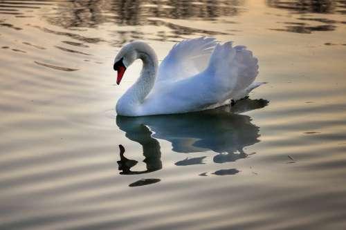 Swan Lake Water Nature Bird Animal Water Bird