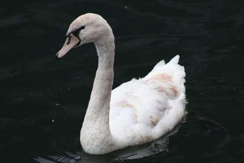 Swan White Swan Elegant Lake