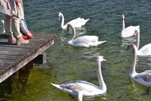 Swan Water Bird Animal Nature Lake Water Bird