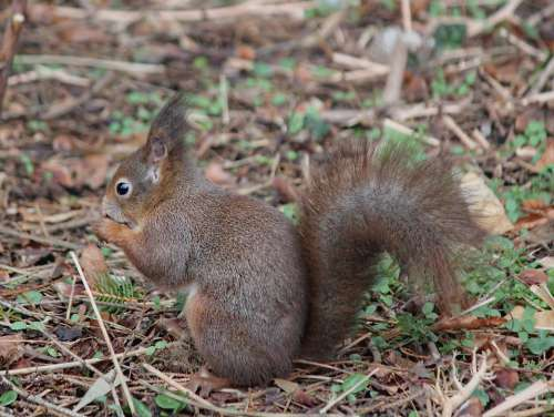 The Squirrel Rodent Animal Mammal Standing Food