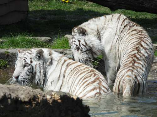 Tiger Mammal Cat Nature Animals Wild Safari