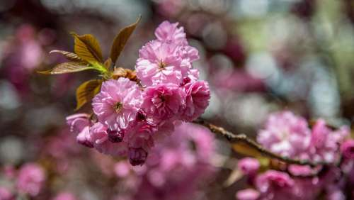 Tree Pink Cherry Spring Flower Branch Colors