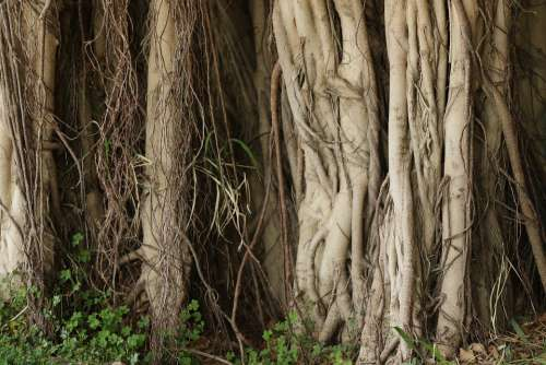 Tree Roots Nature Trunk Growing Outdoor Mystical