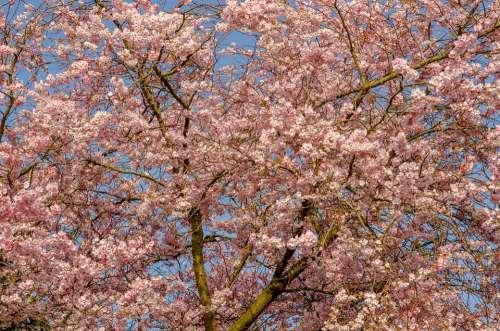 Tree Flower Spring Cherry Japanese Pink Nature