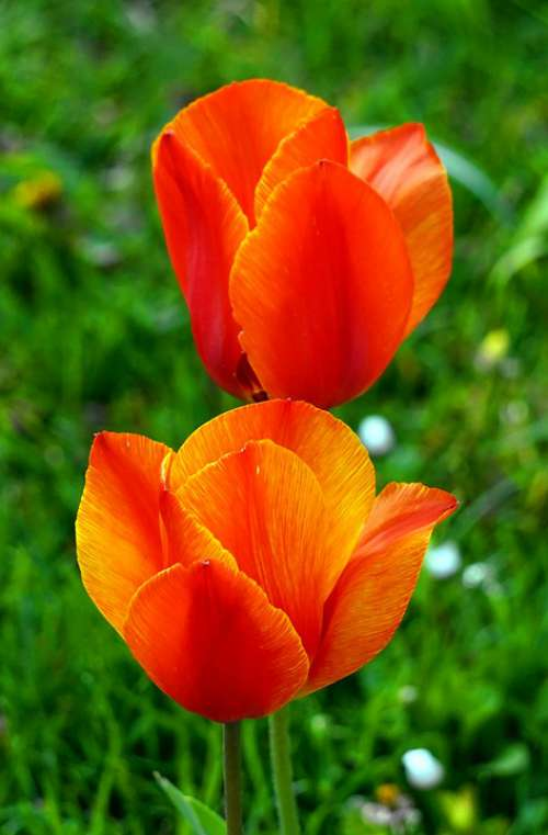 Tulip Red Blossom Bloom Spring Flowers