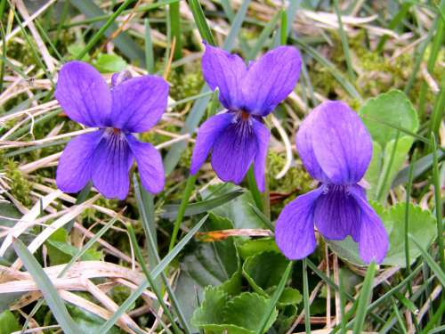 Violet Spring Flowers Purple Garden Violaceae
