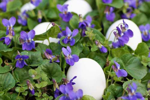 Violets Eggs White Easter Spring Vernal Holiday