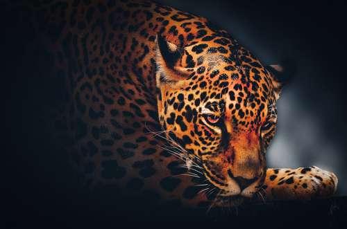 Wallpaper Background Jaguar Wildlife Animal