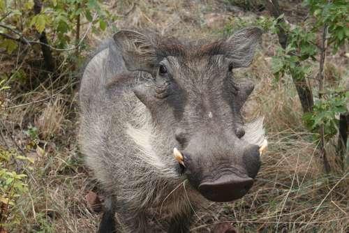 Warthog Animal Africa Wildlife