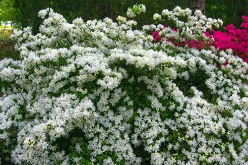 White Azaleas In Full Bloom Blossoms Azalea Bloom