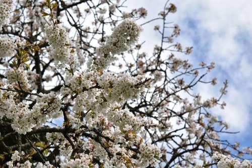 White Flowers Shrubs Cherry Flowers Garden Spring