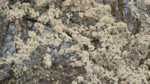 White Flowers Spring Flowers Flowering Tree