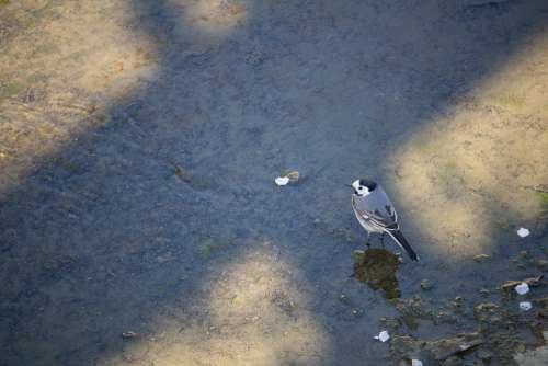 White Wagtail Bird Songbird Nature Animal