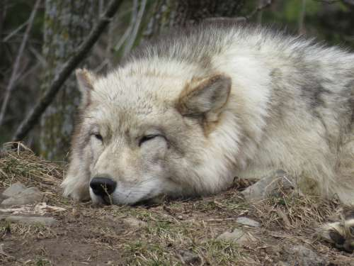 Wolf Tired Sleep Animal Sleeping Relaxed Fur