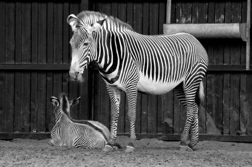 Zebra Stripes Africa Safari Mammal Nature