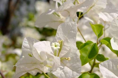 Blooming Bougainvillea Flowers