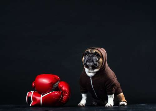 A French Bulldog In A Hoodie With Boxing Gloves Photo