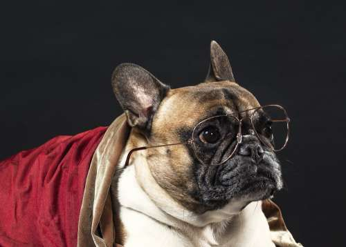 A French Bulldog In Spectacles Photo