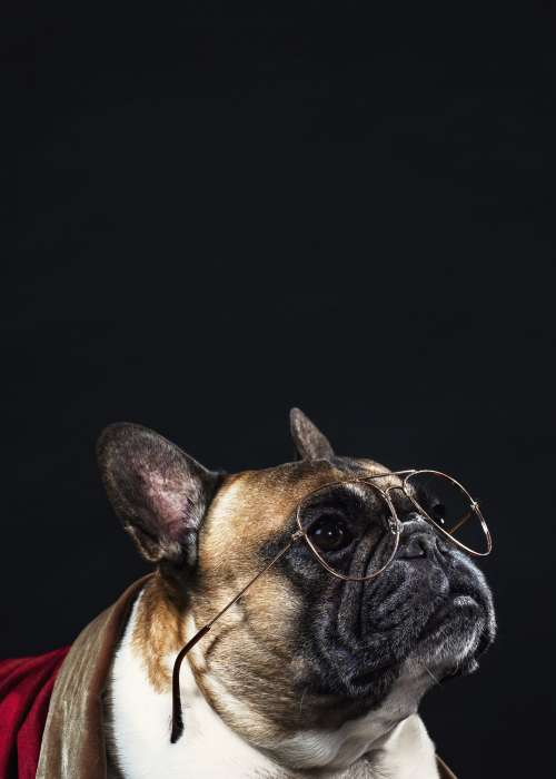 A French Bulldog Looks Intellectual In Reading Glasses Photo