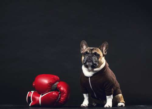A French Bulldog Stands Guard By Boxing Gloves Photo