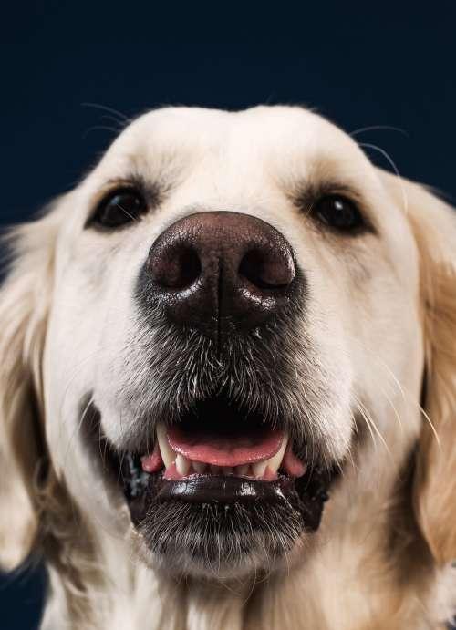 A Smiling Big Teddy-Bear-Like Dog Photo