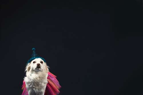A White Dog In A Wizard Hat And Princess Dress Photo