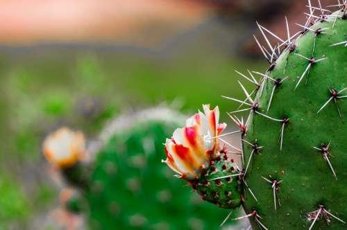 Cactus Flowering Photo