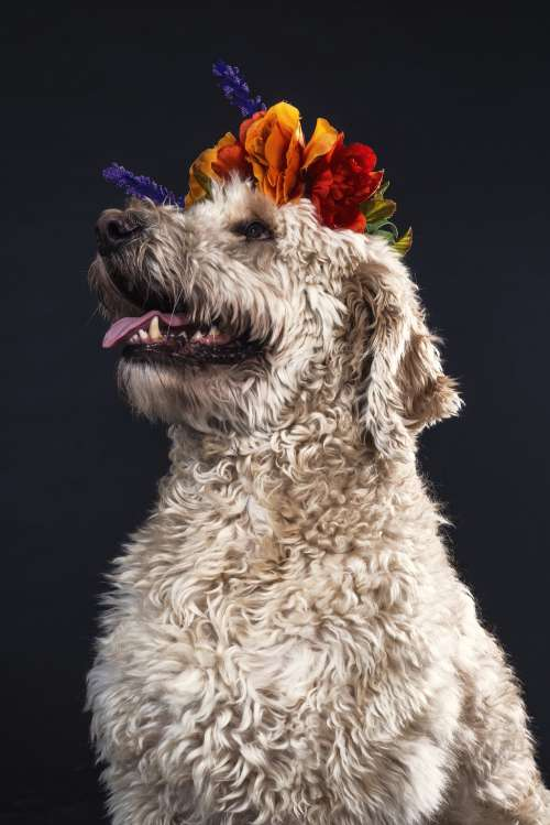 Goldendoodle Wearing Flowers Photo