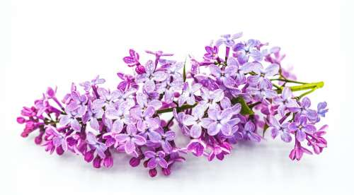 Panicle Of Lilac Flowers Photo