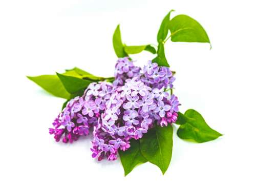 Purple Lilac and Green Leaves Photo