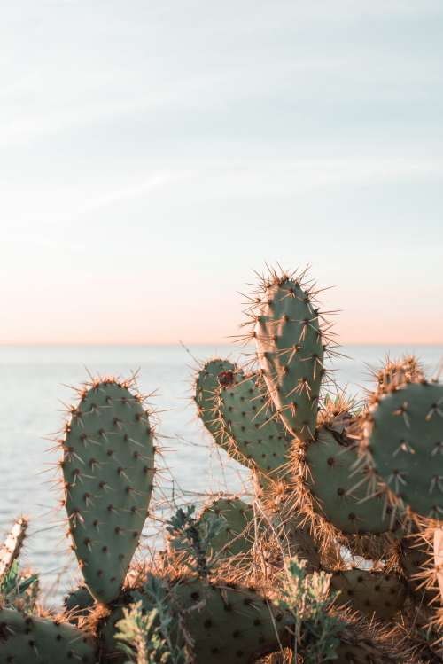 Sunlight Catches Thorns Of Cacti Along Waterfront Photo