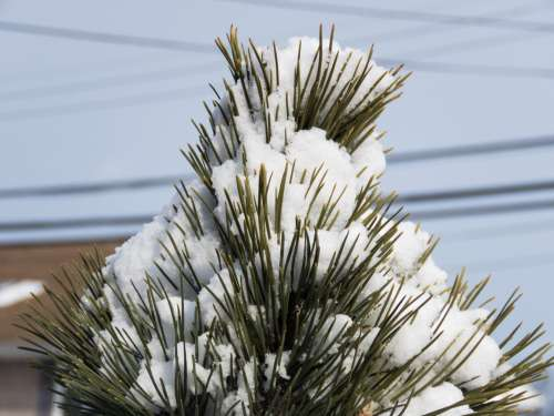 Snow Topped Pine Leaves