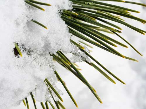 Snow and Ice on Green Pine Leaves