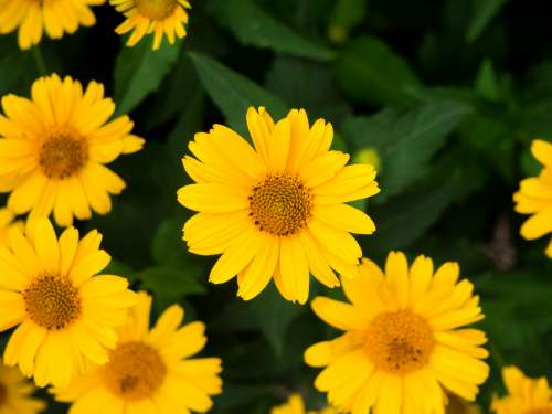 Yellow Flowers and Leaves