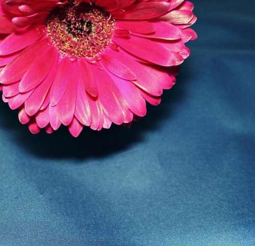 Transavaal daisy flower floret nature beauty