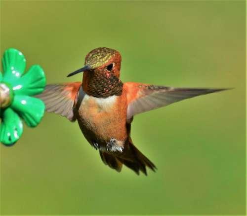 rufous hummingbird bird