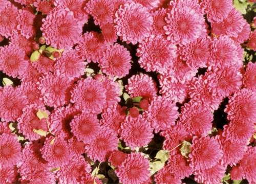 Pink carnations flowers