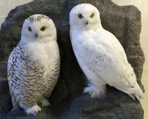 snowy owl owl bird stuffed white