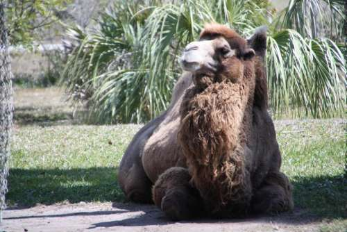 Bactrian Camel  Wildlife Animal Africa #animals