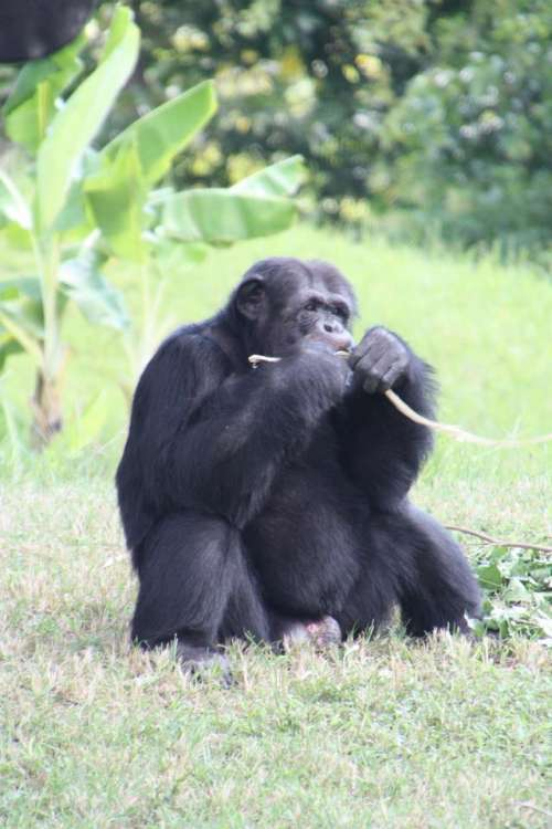 Chimpanzee Wildlife Animal Africa  #animals