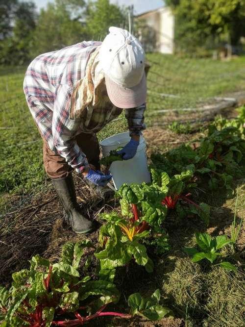 farm farmer rainbow chard gather grow